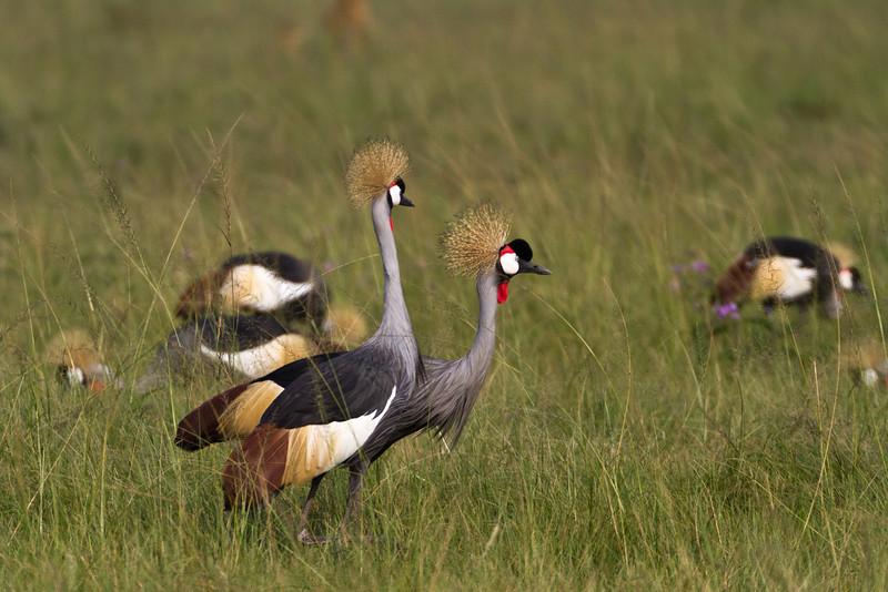 Crested Cranes / Kronenkraniche