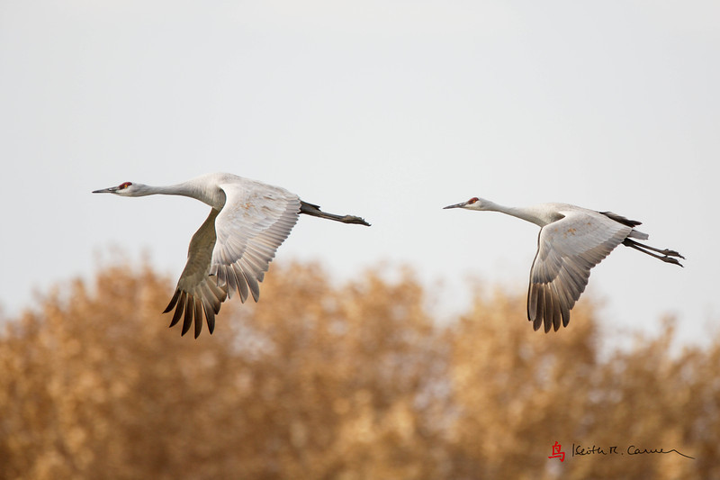 Sandhill Cranes flight