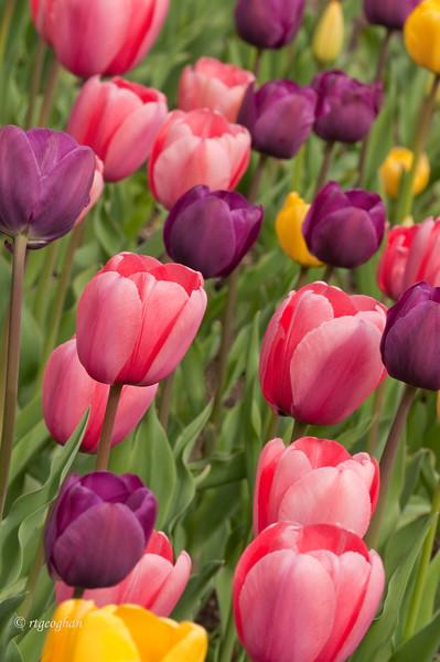 Tulip Garden_April 20_1880.jpg