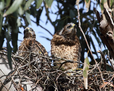 Red-shouldered Hawk Nest May-June 2010