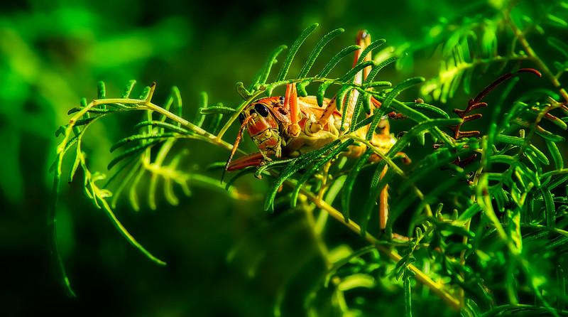 Grasshoppers 42.jpg