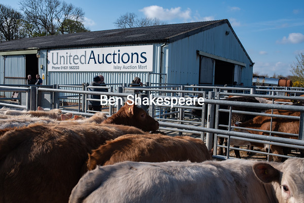 MTH Islay store cattle April 2019
