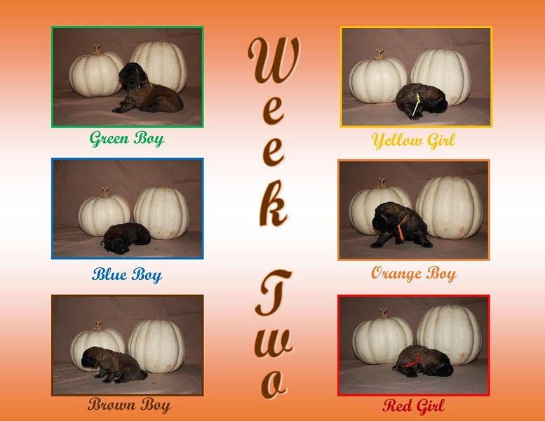 It's the end of Week Two! Our eyes are open and we are toddling around.  Our nest area has been expanded and our potty area has been introduced.  Now the fun of Puppy Culture will begin!  New items and experiences will be introduced daily.