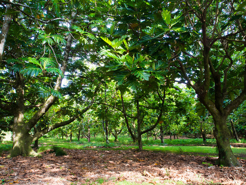 breadfruit trees.jpg
