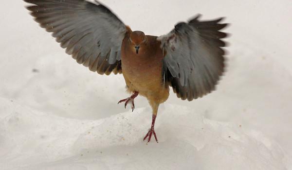 winter doves