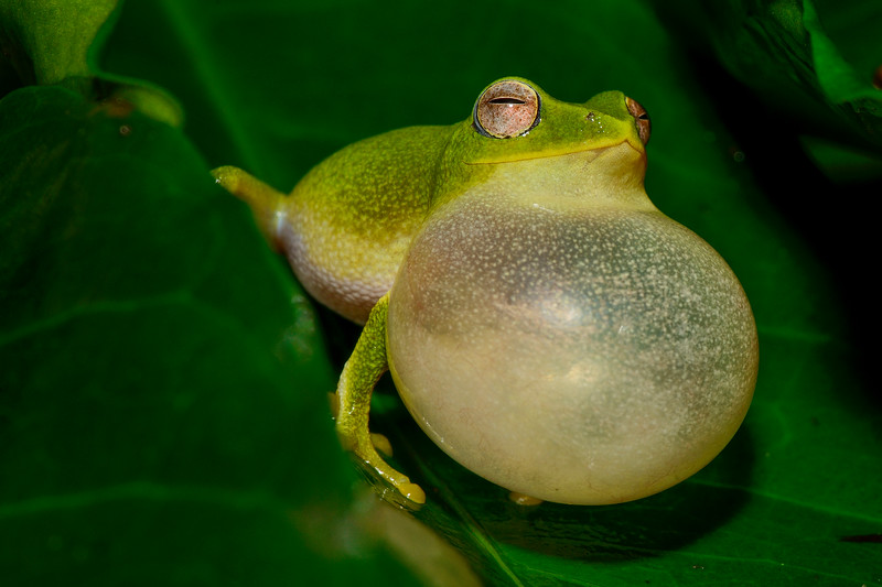 Jayarami-bush-frog-Valparai-1.jpg