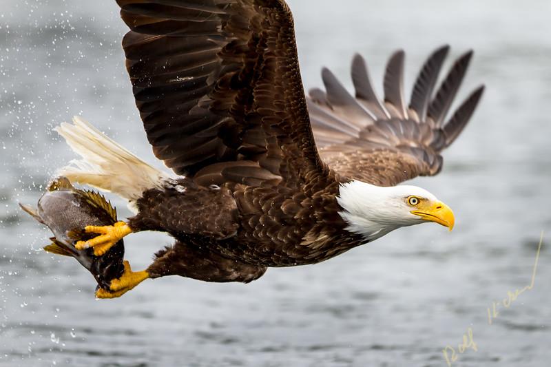 Bald eagle flying with fish along the Great Bear Rainforest, British Columbia coast, British Columbia, Canada.
