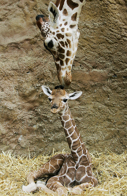 . Giraffe mother Malindi caresses her daughter at Duisburg zoo. Visitors were asked to make suggestions for a name for the youngster. (AP Photo/Frank Augstein)