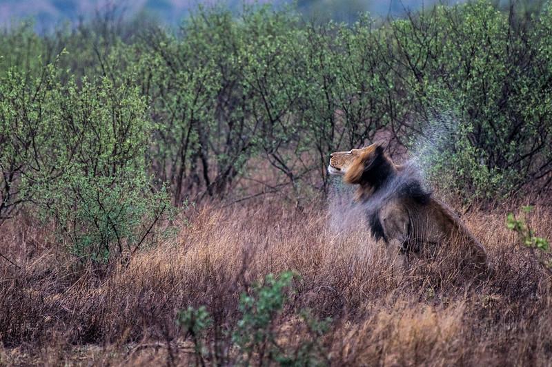 Male Lion BW Bekker PKSAFARIS (1 of 1).jpg