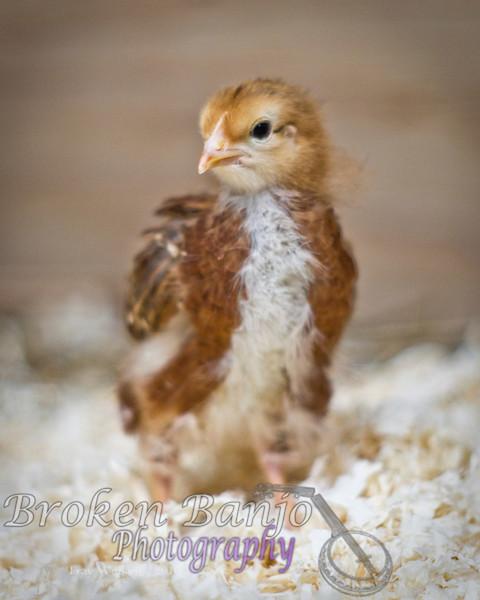 Chicks047high.JPG