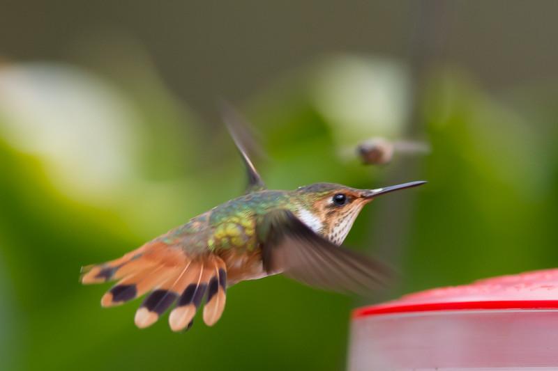 Scintillant Hummingbird - Female - Savegre, Costa Rica