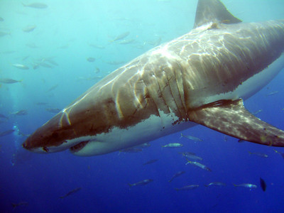 The Great Whites of Isla Guadalupe - Sept  2008