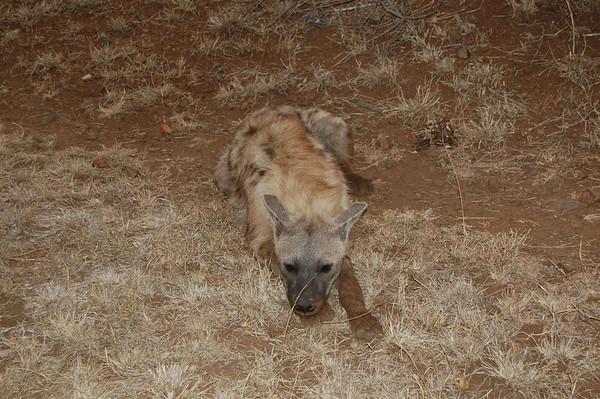 Kruger Hyenas