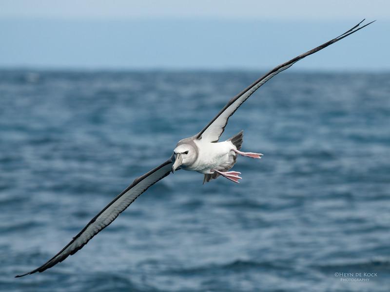 Shy Albatross, imm, Wollongong Pelagic, NSW, Oct 2009.jpg
