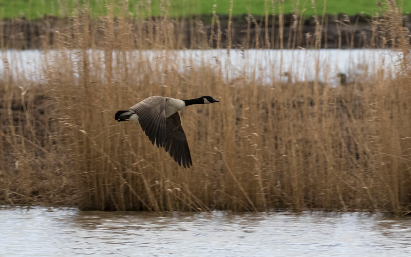 canadese gans, canada goose