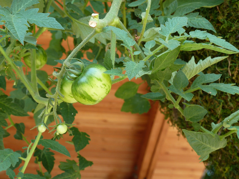 Zebra tomatoes growing in a large hanging container in the outdoor kitchen.