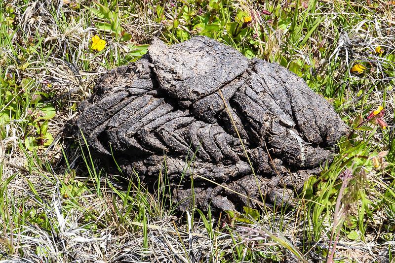 Bear Poop - Yellowstone National Park