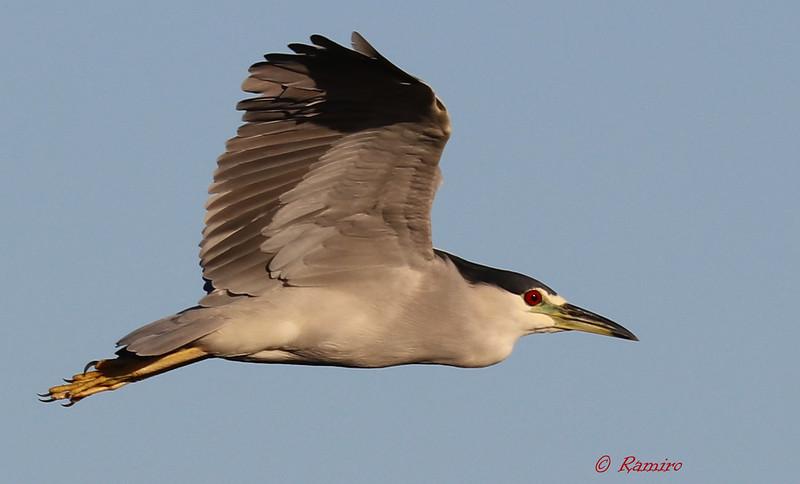 Black crowned Night Heron IMG_4372.jpg