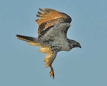 Red Tailed Hawk 15_edited-1.jpg