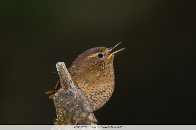 Pacific Wren - USA