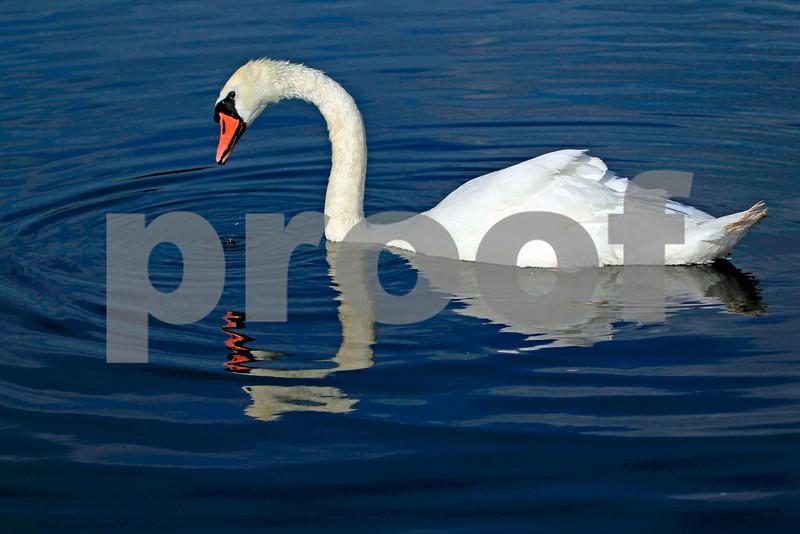 Swans (Kensington Palace,England):Pack 1