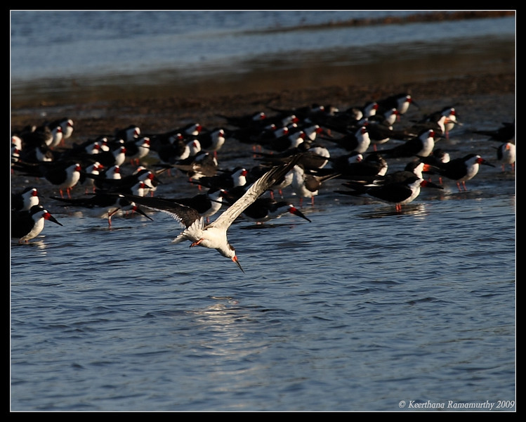 Black Skimmer, Robb Field, San Diego River, San Diego County, California, April 2009