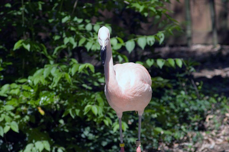 Chilean Flamingos, Phoenicopterus Chilensis, Zoo, Atlanta, Georgia, USA