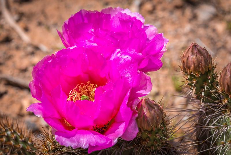 Road to Babylon Cactus Flower