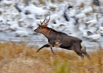 Elk - Eastern Elk