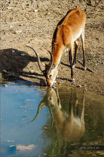 Beautiful hart drinking from the river, reflecting in water mirror