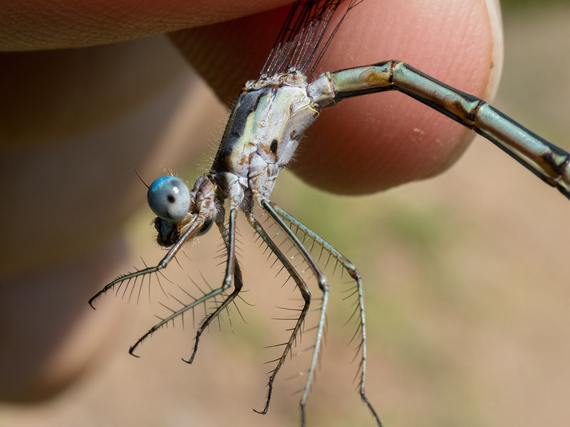 Sweetflag Spreadwing (Lestes forcipatus), female