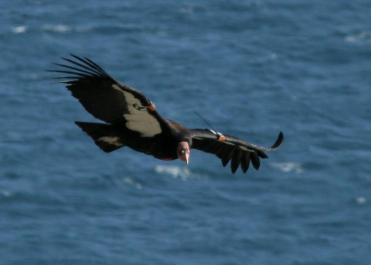 Condor, California, 3-07, Bird #171.JPG