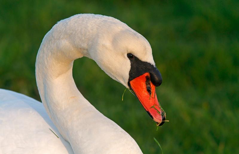 Cygnet Swan eating grass, Shollenberger Park
