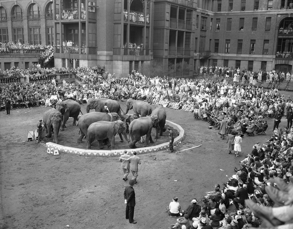 . Men, women and children at Bellevue Hospital watch the elephants during the 48th annual performance of the Ringling Brothers Barnum and Bailey Circus on the hospital parade grounds in New York on April 21, 1950. Thirteen acts were presented during the one-hour show. (AP Photo/Tom Fitzsimmons)