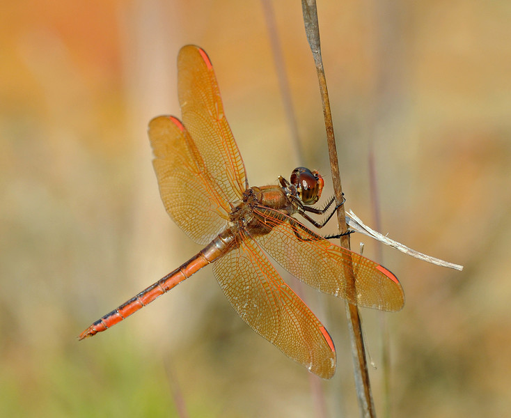 Libellula auripennis (Golden-winged Skimmer) - male