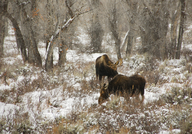 Moose   (Dec 12, 2006, 03:53pm)  Spotted at the side of Route 89, north of Jackson, Wyoming.