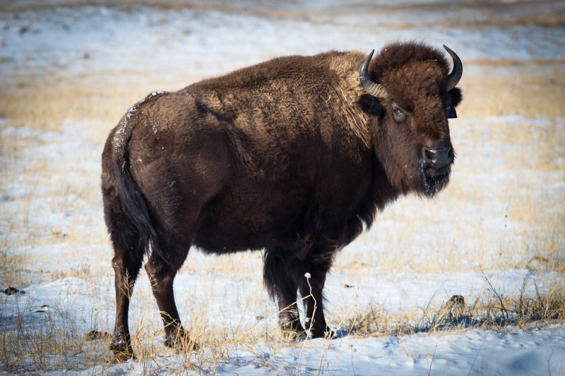 Buffalo Hunt (2).JPG