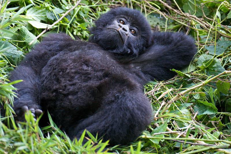 Gorillas  8413.jpg