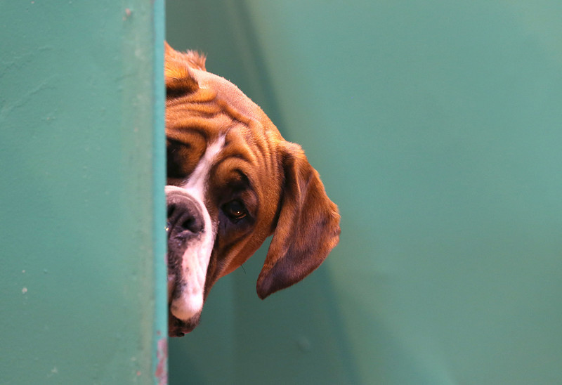 . A Boxer dog looks out from its kennel on first day of Crufts dog show at the NEC on March 6, 2014 in Birmingham, England. Said to be the largest show of its kind in the world, the annual four-day event, features thousands of dogs, with competitors traveling from countries across the globe to take part. Crufts, which was first held in 1891 and sees thousands of dogs vie for the coveted title of \'Best in Show\'.  (Photo by Matt Cardy/Getty Images)