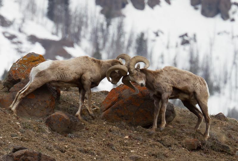 Bighorn rams bachelor herd near Soda Butte Yellowstone National Park WY IMG_6761.jpg