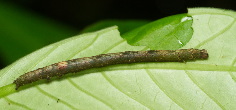 Unknown caterpillar from the Panamanian rainforest.