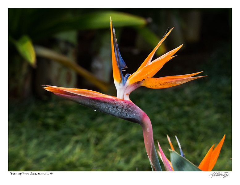 180204_MG_9295 Bird of Paradise.jpg