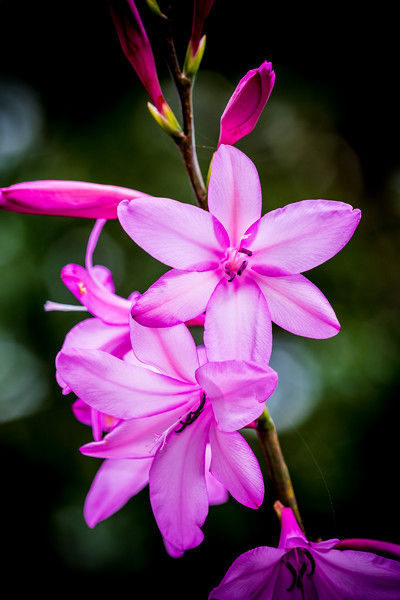 Anchusa capensis