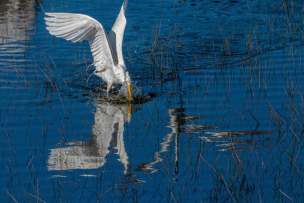 Great Egret catching fish and being chased