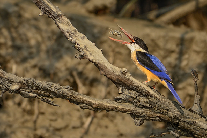 Black-capped-kingfisher-with-crab-kill.jpg