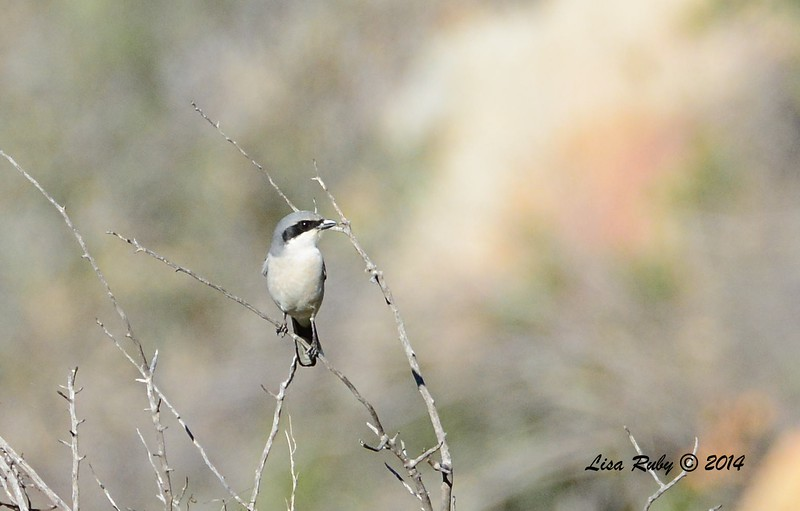 Loggerhead Shrike - 12/22/2014 - Highland Valley Coast to Crest Trail
