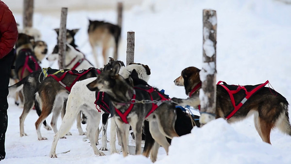 1 2013 Jan 20 LL Sled Dog Video