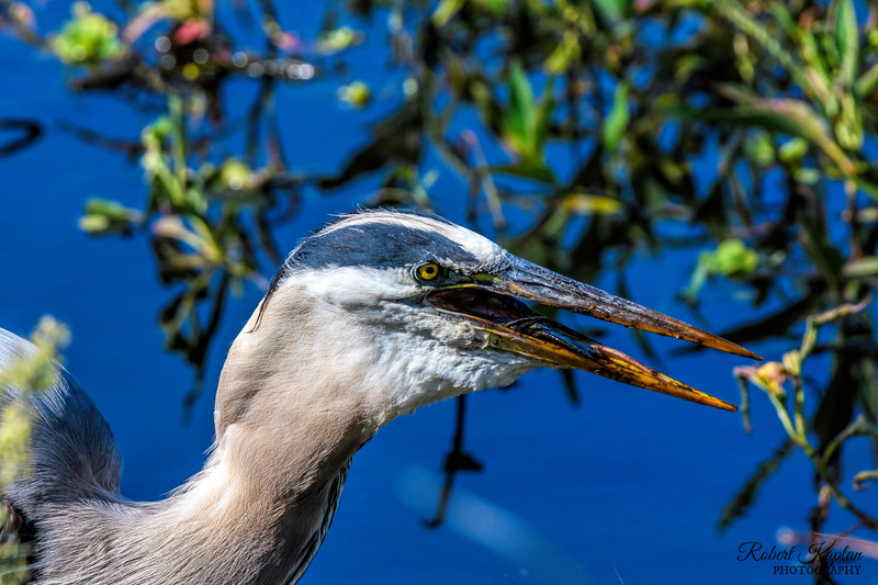 Great Blue Heron with Catfish-6325.jpg