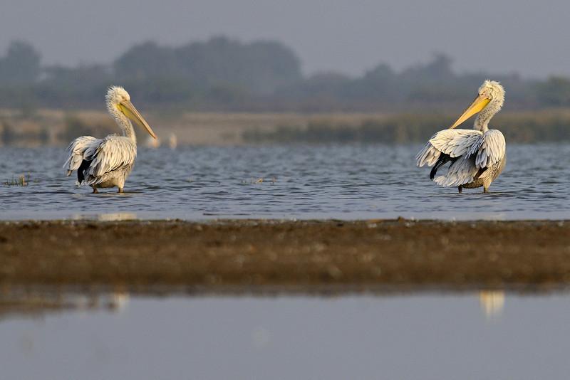 Pelicans-01.jpg