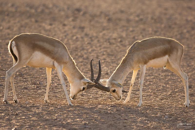 Gazelle (14).jpg